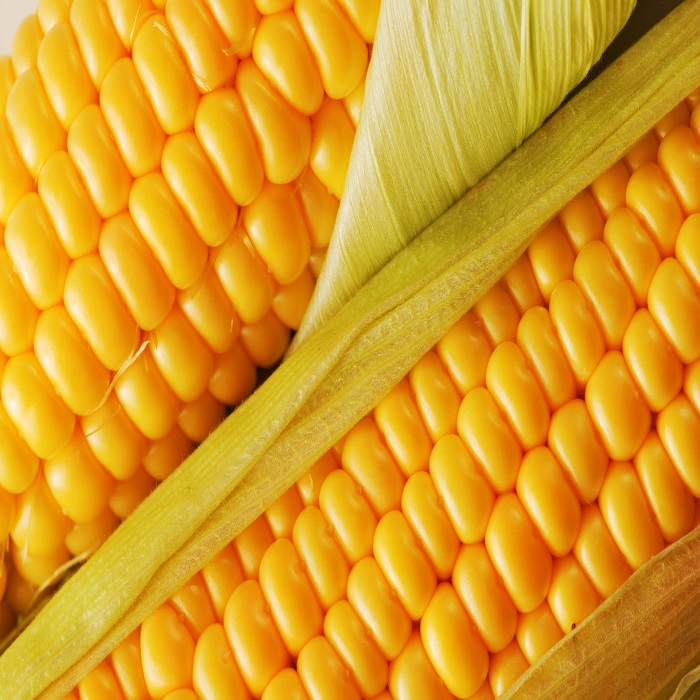 Yellow corn for Animal Feed and Human consumption