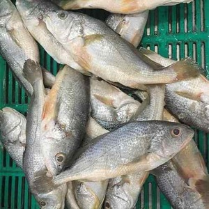 Frozen seafood products striped large yellow croaker