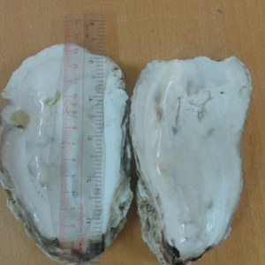Oyster shell Wholesale/ Seashell