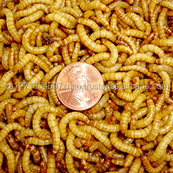 Cheap Live Yellow Mealworms For Pet Food