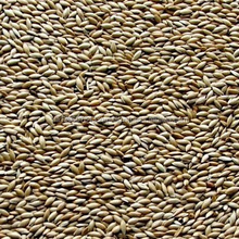 Canary seed ( alpiste )