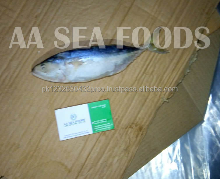 Dependable/famous supplier frozen Indian Mackerel fish to Asian market