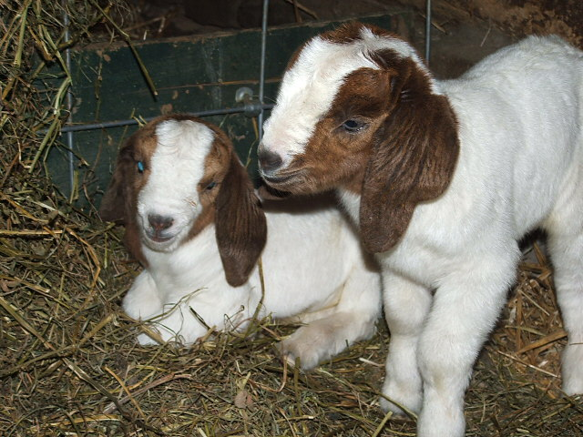 100% Full Blood Young boer goats