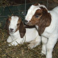 100 Full Blood Young Boer Goats
