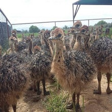Excellent quality ostrich chicks for sale