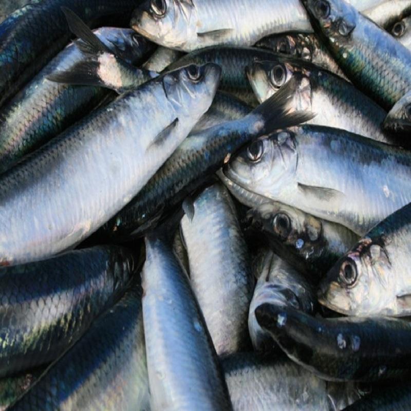 Pacific Mackerel Fish Factory Wholesale Deep Sea Frozen W/R Seafood On Sales