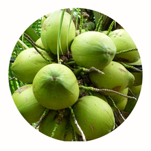 Thai Coconut Fresh Green Young Coconut