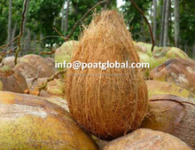 SEMI HUSKED MATURED COCONUT