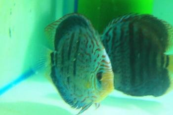 Heckel cross Royale blue discus