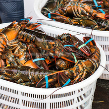 Fresh Quality Frozen Canadian Lobster for sale at good price