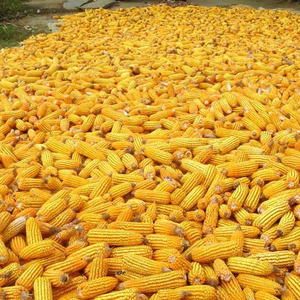 yellow maize suppliers in india ,yellow maize price in india yellow corn suppliers in india, yellow maize animal feed for sale