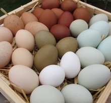 Chicken Origin and Egg Product Type farm fresh chicken eggs