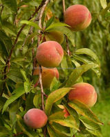 PURE PEACH KERNEL OIL FOR COSMETIC, SOAP, AROMATHERAPY AND SPA