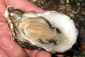 half shell oyster