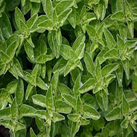 most popular fresh marjoram best sales with high quality