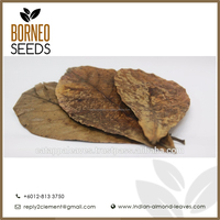 Catappa Indian Almond Leaves - Premium Quality