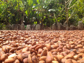 Top grade dried cocoa beans