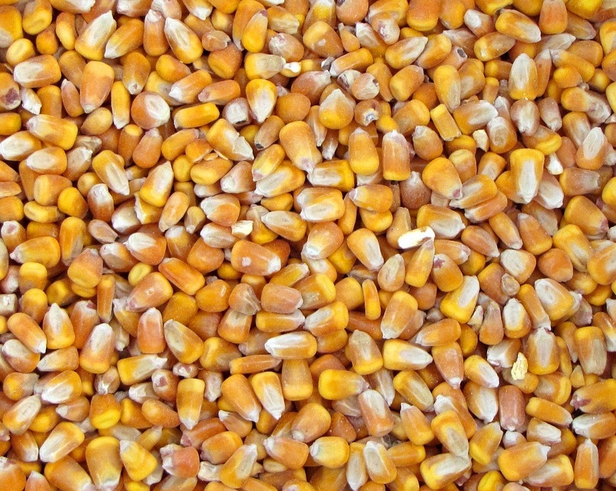 Best Quality Grade 1 Yellow Corn & White Corn/Maize for Human & Animal Feed