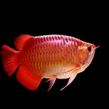 Red-Tail Arowana