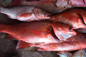 IQF Frozen Red Snapper/Frozen Red Tilapia Fish For Sale/Blotched Snapper Frozen Fish