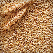 Barley Malt for Beer Production