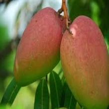 Alphonso Mangoes Certified Exporter