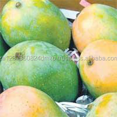 Fresh green and yellow golden farm mangoes