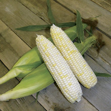 Quality and good White Maize / White Corn
