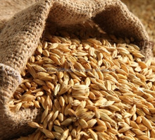 Grade A Animals Feed Barley from Thailand for sale at factory prices