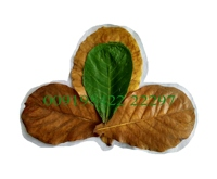 Indian almond leaves wholesale catappa leaves for sale Ketapang or Sea Almond or Indian Almond or Terminalia catappa leaves