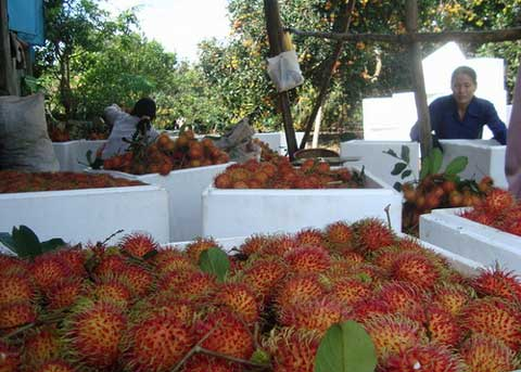 FRESH SWEET TASTY RAMBUTAN WITH BEST PRICE FROM VIETNAM