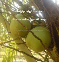Best Quality Sweet water Fresh Tender Coconut