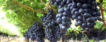 Quality Fresh Red Globe grapes and other varities for sale 30% off