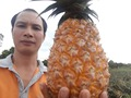 FRESH SWEET PINEAPPLE from viet nam