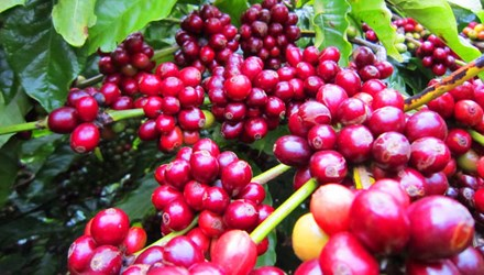 COFFEE BEAN ROBUSTA FROM VIETNAM