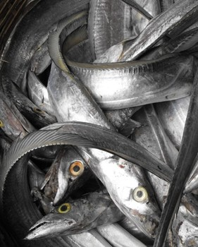 Whole Frozen Ribbon Fish For Sale