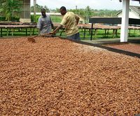Sell Dried Raw Cocoa Beans