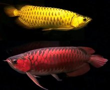 Healthy Golden Red Arowana Fishes For Sale