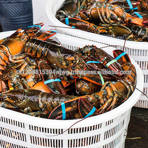 Live Lobsters/Fresh Chilled Lobster/Frozen Lobsters!