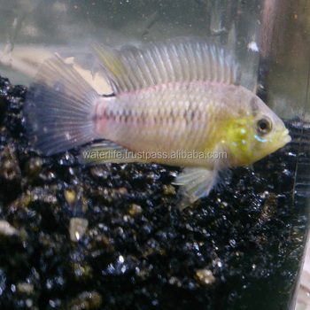 Live Tropical Fish, Exotic Ornamental Orange Red Freshwater Fish,