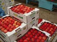 Best Selling of Fresh Apple for SALE