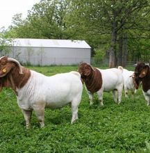 best quality live sheeps/boar goat for sale at good price