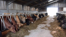 Aberdeen Angus Fattening Beef/ Live Dairy Cows / Pregnant Holstein Heifers /Full Blood Boer Goats