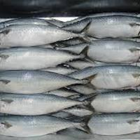 Frozen Pacific Mackerel Fish