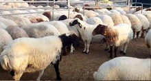 Boer goats , Saanen goats , Awassi goats and sheep for sell