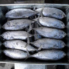 Whole Round Sea Frozen Bonito, Yellowfin Tuna, Herring Fish