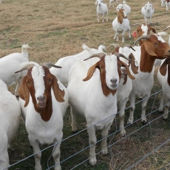 Full Blood Boer Goats, Live Sheep, Cattle, Lambs Ready at cheap prices