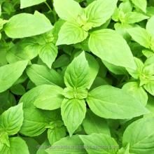 Basil Oil in Bulk