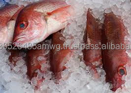 best quality Frozen fish/ frozen Red snapper Fish
