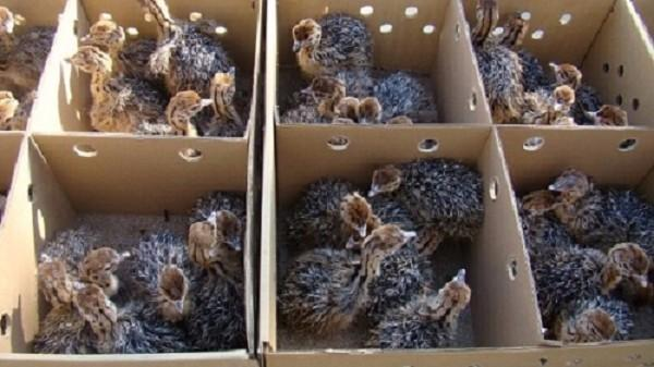 Hot Sale Quality Ostrich chicks for sale